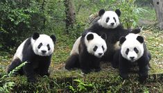 As part of its endeavour to reintroduce pandas into the wild, China has launched its first-ever Du Jiang Yan Giant Panda Valley in Sichuan province.