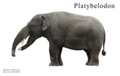Platybelodon (reconstruction)