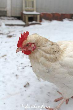 seidenfeins Blog vom schönen Landleben: Schneewittchen bzw. Hühner im Schnee * hens in the snow Country Living, Blog, Animals, Snow White, Country, Lawn And Garden, Country Life, Animaux, Animal