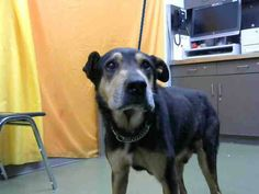 SENIOR URGENT!!!!! **4/12/17 ON EUTH LIST - CAN BE KILLED AT ANY TIME** ASTRO - ID #A668880 (available 4/4) **MEDICAL WAIVER REQUIRED (green nasal discharge). Can be adopted by anyone who signs a medical waiver. Call Devore NOW and ask supervisor for time to come get this dog** I am a male, black and tan Shepherd mix. about 10 years old. http://petharbor.com/pet.asp?uaid=SBCO1.A668880 I have been at the shelter since Mar 30, 2017.