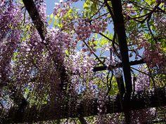 白井大町藤公園の藤棚。Japanese wisteria flowers in Yakuno, Kyoto.