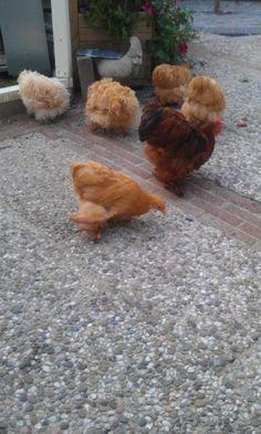 De tamste kipjes! Cochin kriel in de kleur buff