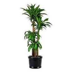 Best Indoor or Patio Plant.  Easy to take care of and they look like an indoor palm tree for that beachy feel.