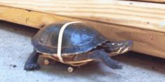 Think turtles are slow? You should see them with a skateboard. | 16 Delightful Animal Tricks You Need To See Right Now