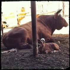 Bushwacker and baby time to teach a bucking lesson Rodeo Events, Professional Bull Riders, Bucking Bulls, Rodeo Time, Rodeo Cowboys, Bullen, Bull Riding, Animal Pictures, Cow Pictures