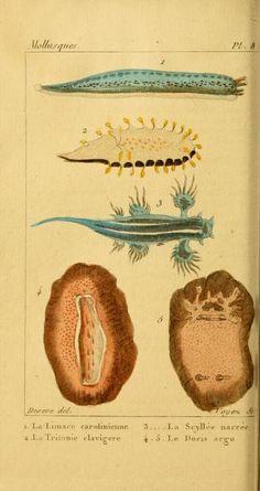 Histoire Naturelle des Vers: Contenant leur description et leurs moeurs, A.G. Bosc and G.L. Buffon, 1830
