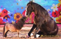 APASSIONATA Tour 2012/2013 - Minishetty Choco und Laurent Jahan's Bretone gehen auf Tuchfühlung.