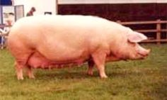 BRITISH LANDRACE SOW The first Landrace pigs were imported into Britain from Sweden in 1949 (4 boars and 8 gilts) with other imports to follow from 1953 onwards, these came into Northern Ireland, the Isle of Man and the Channel Islands.  The British Landrace Pig Society was formed to create a herd book for the first offspring born 1950, from the 1949 importation, and an evaluation scheme was created, with the first Pig Testing Scheme for daily gain and fat depths, a testing station was built…