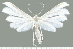 White Plume Moth (Pterophorus pentadactyla)