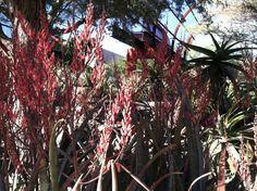 Aloe aff. elgonica