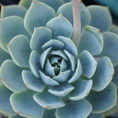 Blue Echeveria Succulent, photo by Dalla Vita.