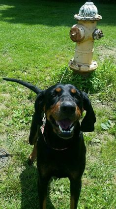 Xena - URGENT - Richland County Dog Warden in Mansfield, Ohio - ADOPT OR FOSTER - 3 year old Female Hound - at shelter since July 1, 2017 - I'm a very sweet & friendly Hound. As you can see, I'm very happy & almost always smiling. The nice people who found me said I was good with their son. If you'd love a sweet girl, treat yourself to me! If you can't bring me home, consider sponsoring a pet, like me, to get me into a rescue!