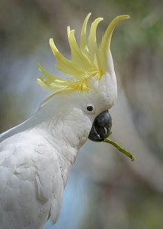 Sulphur-crested Cockatoo, Cacatua galerita +===============================+ Caught in the act, helping itself to nice fress Blackwood wattle seed pods. Rare Birds, Exotic Birds, Cockatiel, Budgies, Beautiful Birds, Animals Beautiful, Unusual Animals, Kinds Of Birds, Australian Animals