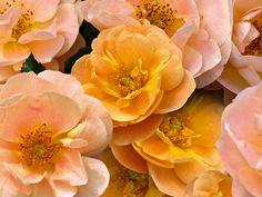 Flower Carpet Amber roses, closeup of flowers | by tesselaarusa