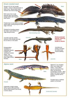 Great Crested Newt & Marbled New