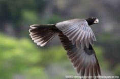 flying vasa parrot