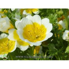 """EGG PLANT """"LIMNANTHES DOUGLASII""""  There is just one species of this Californian annual which is very simple to grow in almost any soil in a sunny spot. The bright white and yellow cup-shaped flowers create a cheerful patch of ground cover, with the apt name of poached egg plant."""
