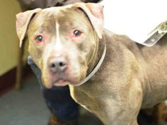 GONE - 02/11/15. Brooklyn Center  My name is ARIES. My Animal ID # is A1027062. I am a male gray and white pit bull mix. The shelter thinks I am about 9 YEARS old.  For more information on adopting from the NYC AC&C, or to  find a rescue to assist, please read the following: http://urgentpetsondeathrow.org/must-read/
