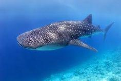 #Ningaloo Reef – Der unbekannte Indische Ozean #australia #whaleshark
