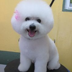 Hi,I am a Bichon Frise. I love my afro hair. Isn't beautiful ? | Yelp