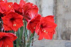 Amaryllis - elegant sør-amerikaner | Hageland.no Amaryllis, Elegant, Plants, Classy, Flora, Plant, Chic, Planting