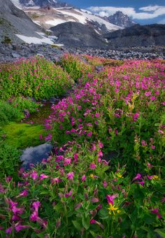 Alpine Oasis- Lewis' monkey flowers by snowmelt stream, Mount Rainier National Park, Washington | Protik Hossain on 500px
