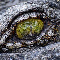 "Polubienia: 152, komentarze: 7 – Sean Laughlin (@gingerbeast1) na Instagramie: ""Crocodiles have one of my favorite eyes in the animal kingdom. This one belongs to one of the Nile…"""