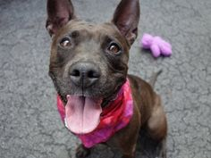 BACON - A1033195TO BE DESTROYED 04/25/15 * AVAILABLE FOR PUBLIC ADOPTION TONIGHT * A volunteer writes: Of course all I could think about when I was with this delightful girl was the commercial 'Bacon, bacon, whose got the bacon'. She will make you forget that silliness as she smothers you with kisses and as her tail wags a mile a minute with the joy of making friends. Likely housetrained she 'went' as soon as we were out the door, and pulled on the leash for a while until settling into a…