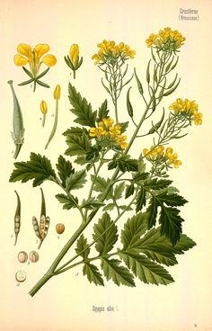 White mustard. From Köhler's Medizinal-Pflanzen, vol. 3. Source: Biodiversity Heritage Library / Missouri Botanical Garden. Public domain. [white mustard, Sinapis alba, Brassicaceae]