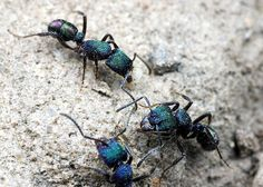Rhytidoponera metallica and nineteen other amazing species of ants from all around the world