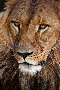 Lion  (by John White)
