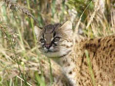 Leopardus guigna foto: Eduardo Silva