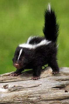 Baby skunk ~~~ Little as they are they still have the weapon. Handle with care.