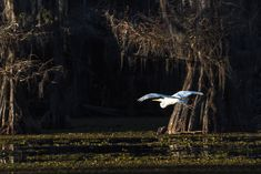 Cypress Swamps Wildlife | White Egret, Caddo Lake, Texas, Atchafalaya River Basin LOU-OL-810_5459 | Olga FineArts Photography | Fine Art Prints | Art | Stock Images, Nature Abstracts | Landscapes, People, Travel Photography