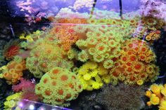 Marcy's reef is full of sweet azoox corals - Reef Builders | The Reef and Marine Aquarium Blog