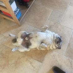 It is almost the proportions are of a perfect square. #pug #pugs #pugstagram #pugsofinstagram #pugs_of_instagram #puglife #puglove #ilovemypug #rescue #rescuedog #rescuepug #adopt #adoptdontshop #spay #neuter.
