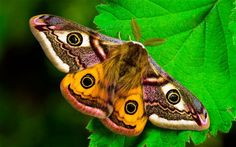 """Emperor Moth (Telegraph, """"moths are more attracted by the brighter white lighting that is increasingly being installed on roads around Britain compared to the older traditional orange street lights. Types Of Moths, Colorful Moths, Emperor Moth, Atlas Moth, Nocturne, Mysterious Universe, Moth Wings, Moth Tattoo, Fatal Attraction"""
