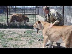 Спасенная от усыпления львица скоро станет мамой