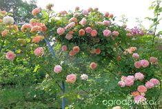 Ogrodowy spektakl trwa ... - strona 220 - Forum ogrodnicze - Ogrodowisko Fruit, Compost