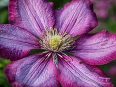 #Pink #Clematis #Flower - #Macro #Photography #Print from my #Saatchi Gallery