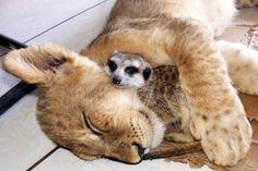 llbwwb:  You are the meerkutest! via:cuteoverload. Sweet Dreams and Cuddles Wonderful Friends :)