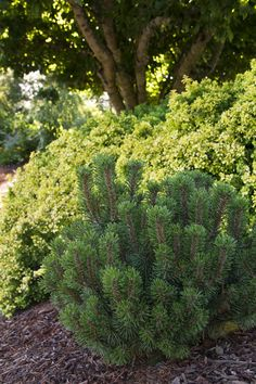 Slowmound Mugo Pine is a rugged, water-wise evergreen, with finely textured, deep green foliage; seldom needs pruning. Slow, reaches up to 2 ft. tall and wide in 10 year; to 3 ft. at maturity. Zone: 2 – 8 Use: Specimen, urban, alpine or rock garden.