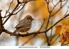 Female House Finch perched in a tree with a few fall leaves.
