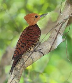 Ringed Woodpecker Celeus torquatus - Google Search