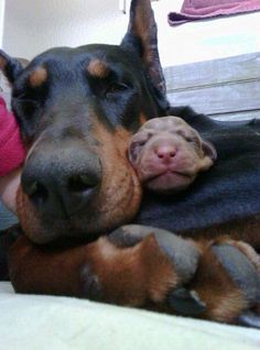 The Doberman Pinscher is among the most popular breed of dogs in the world. Known for its intelligence and loyalty, the Pinscher is both a police- favorite I Love Dogs, Cute Dogs, Black And Tan Terrier, Doberman Love, Blue Doberman, Doberman Rescue, Doberman Pinscher Dog, Beautiful Dogs, Dog Life