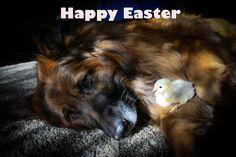 Easter German shepherd dog GSD long hair with baby chicken celebrating Easter