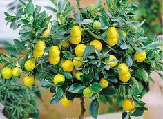 [Visit to Buy] 10 pieces/bag Lemon Tree Seeds High survival Rate bonsai Fruit Seeds For Home Gatden balcony Bonsai #Advertisement