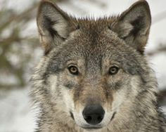 More signatures fast please!  Demand that FWS Review the Status of Wolves in Idaho! - The Petition Site