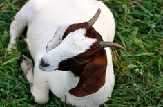 Brasen Hill Farm - Grassfed Goat $9.45/lb hanging weight