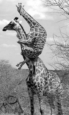 freaked out giraffe! Who knew a giraffe could climb a tree? Picture Writing Prompts, Writing Pictures, Creative Writing Prompts, Writing Lessons, Writing Activities, Picture Prompt, Funny Giraffe, Story Starters, Tier Fotos